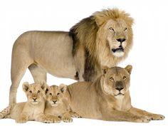 Lion Family xHD Wallpaper on MobDecor http://www.mobdecor.com/b2b/wallpaper/220924-lion-family