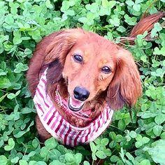 雨上がりは…やっぱり泥んこ〜 でも楽しかったんだねこの笑顔♡#もも #愛犬 #カニンヘン #カニンヘンダックスフンド #カニンヘンダックス #dachshundsofinstagram #dachshund #dachshundsofinstagram #dacshund #dachshundlovers #dachshund #dachshunds #dog #dogs #dogstagram #doglove #雨上がり