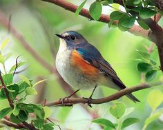 Orange-flanked Bush Robin, taken at Yehliu, Taipei County, Taiwan - photo by John&Fish, via Flickr