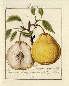 Mayer, Johann: Pomona Franconica, Pear Crasanne