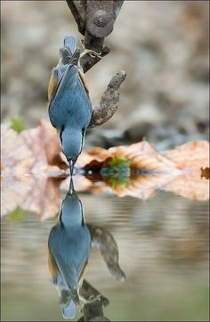Nuthatch Reflection | #MostBeautifulPages