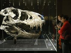Visitors look at the original skull, which, due to its weight, had to be exhibited separate from the skeleton of Tristan the Tyrannosaurus Rex on the first day the exhibit is open to the public at the Museum fuer Naturkunde (Natural History Museum) in Berlin, Germany. The skeleton, unearthed in the U.S. state of Montana in 2012, is among the best-preserved large dinosaur skeletons ever found. Tristan is approximately 66 million years old, is 12 meters long and is the first complete…