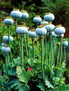 Poppy Seeds - How To Grow Poppies From Seed | All About Women's Things