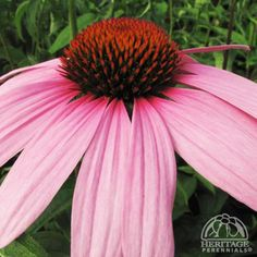 Echinacea purpurea: Z3 (zone 2 I think), 2.5-4x1.5-2', sun-part shade, dry-moist; med.-tall clump of pointy dark-green leaves, large somewhat reflex daisy flowers w/ mauve-pink petals surrounding red-orange cones turning into dark chocolate pom pom seedheads = great winter interest - contrast against the snow; Attracts bees/butterflies & hummingbirds & birds-seed, xeriscape, cut/dried flower, containers, deer resistant; Easy care: deadhead for +blooms, easily divide & move seedlings in…