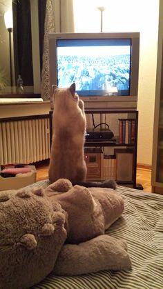 Phoebe sieht fern... Britisch Kurzhaar, BKH