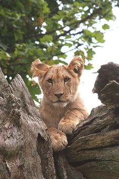 Baby Pictures of New Arrivals at Longleat Safari Park: Lion Cub at Longleat Could Be Sizing You Up for Supper