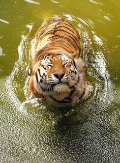 Tiger enjoying the water...