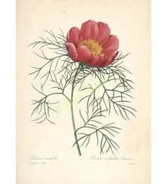 Botanical Print Wall Art Large Beautiful Red Peony Flower Antique Country Spring Summer Garden N
