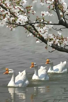 Spring Time with the swans a'swimmin Beautiful Birds, Animals Beautiful, Cute Animals, Vogel Clipart, Photo Animaliere, Spring Sign, Tier Fotos, All Gods Creatures, Spring Has Sprung