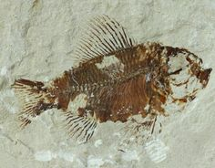 fish fossils images | fossil fish sales information click to enlarge fossil pictures
