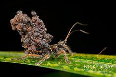 Ant-Snatching Assassin Bug (Acanthaspis sp.) - DSC_0739   Nicky Bay