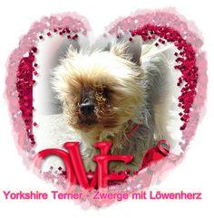 Yorkshire Terrier - Zwerge mit Löwenherz. Jetzt überall im Buchhandel