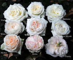 White and pink garden roses can be in place of peonies. Like peonies garden ros White and pink garden roses can be in place of peonies. Like peonies garden ros / The post White and pink garden roses can be in place of peonies. Like peonies garden ros ap Garden Rose Bouquet, Peonies Garden, Pink Garden, Flowers Garden, Blush Flowers, Wedding Flowers, Garden Roses Wedding, Wedding Bouquets, Blush Peonies