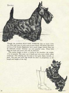 Scottish Terrier, Scottie, Kisses, Sassy, Heaven, Puppies, Dogs, Tatoo, Scottish Terriers