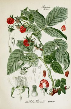 American Raspberry Rubus idaeus Botanical Illustration from Flora of Germany circa 1903