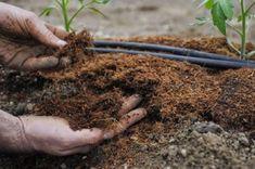 Výsadba rajčat má svá pravidla. Zásadní vliv na úspěch má správná příprava půdy - Svět kreativity Ganja, Seeds, Skin Care, Gardening, Youtube, Sun, Tomato Plants, Earth, Plant