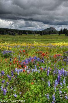 Wildflowers bloom on Rabbit Ears Pass near Steamboat Springs, Colorado