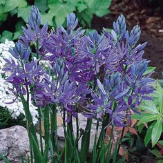Camassia Esculenta - 45-60cm high, flowers in summer, naturalises & spreads.