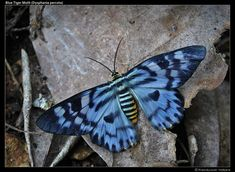 The Blue Tiger Moth (Dysphania percota) is a moth of the Geometridae family. Commonly found in India.