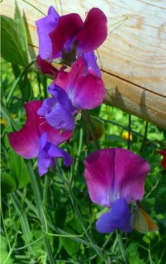 Sweet Peas are a fragrant heirloom flower.  Knick the seed to expedite germination and keep seeds moist.  You will be rewarded with abundant blooms that last well into the frost season.