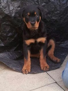 "Excellent ""rottweiler pups"" detail is readily available on our site. Have a look and you wont be sorry you did Dog Training Methods, Basic Dog Training, Dog Training Techniques, Training Your Puppy, Training Dogs, Rottweiler Training, Puppy Obedience Training, Rottweiler Puppies, Black Lab Puppies"