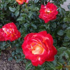 Red Roses #Rose #Red #Roses #Rosegarden #Rosengarten #Cologne...