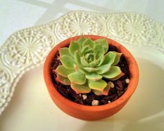 Teacup succulent in terra cotta pot by TeacupSucculents on Etsy, $19.99