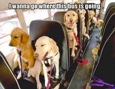 Dog School Bus with golden retrievers an labrador retrievers Funny Animal Pictures, Funny Animals, Cute Animals, Animals Dog, Cute Puppies, Cute Dogs, Dogs And Puppies, Doggies, Golden Retrievers