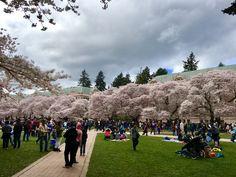 Cherry blossom on the Quad At University of Washington