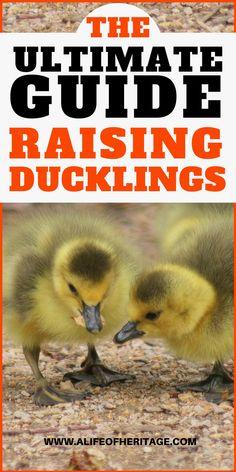 The Sure Fire Way to Raise Healthy Ducklings Pet Ducks, Baby Ducks, Backyard Ducks, Chickens Backyard, Raising Ducks, Raising Chickens, Duckling Care, Duck Breeds, Duck Farming