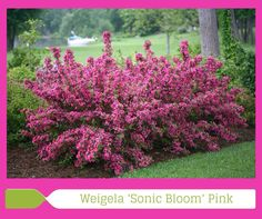 Sonic Bloom Pink Weigela --- Blooms May til first frost with no deadheading. Attracts hummingbirds. Deer resistant. Full sun. 5' x 5'.