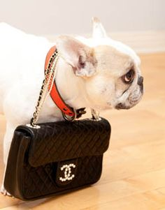 not a pug... but gotta love a doggie with a purse