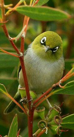 Silvereye in Soap Mallee. Their version of our Cape white-eyes :D Pretty Birds, Love Birds, Beautiful Birds, Animals Beautiful, Cute Animals, Birds 2, Small Birds, Green Birds, Humming Birds