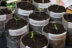 Up-cycle News Paper to Plant Pot to Grow Tomato