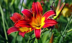 Blaze Tiger Lilies by Ms Judi Tiger Lily Flowers, Bright Flowers, Tiger Lilies, Pop Out, Yahoo Images, Hibiscus, Image Search, Plants, Inspiration