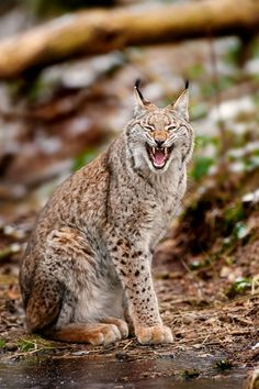 Lynx - Yeaaaah by Stefan Betz, via Nature Animals, Animals And Pets, Cute Animals, Amazing Animal Pictures, Serval Cats, Gato Grande, Cat Species, Cute Baby Cats, Extinct Animals