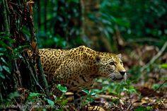 Jaguar (Panthera onca), in lowland tropical rainforest, Manu ...