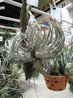 Indoor Benches - A Single Is Ideal For Creating A Cozy Den House Tillandsia Seleriana Weird Plants, Unusual Plants, All Plants, Water Plants, Indoor Plants, House Plants, Air Plant Display, Plant Decor, Cacti And Succulents