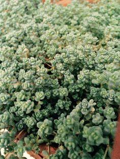 A konyhaablakomban lakik ez a szépséges sziklakerti növény.