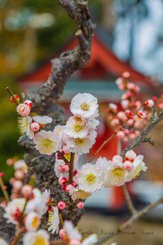 Sugawara Tenmangu: Enjoying the Fragrance of Plum Blossoms in Nara. Bonsai plum blossoms, at Japan's oldest Tenmangu (a shrine dedicated to the spirit of Sugawara-no Michizane-菅原 道真) in Japan, Sugawara Tenmangu (菅原天満宮) in Nara. Apricot Blossom, Cherry Blossom, Blossom Trees, Blossoms, Ikebana, Japan Spring, Spring Blossom, Nara, Shade Garden