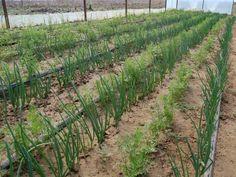 ceapa verde bio Legume Bio, Vineyard, Gardening, Plants, Outdoor, Outdoors, Vine Yard, Lawn And Garden, Vineyard Vines