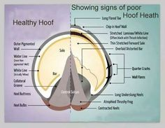 Excellent illustration between a healthy hoof and indicators of an unhealthy hoof - like most things in life, it's a matter of balance - correct balance for each and every horse...