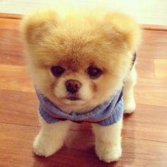 Boo the Pomeranian; he's the world's cutest dog! He's like a little teddy bear! I want him