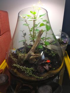 Roost terrarium, first edition. All plants used were gesneriads.