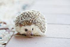 hedgehog animal baby cute small pet http://keeplookingbusy.com/itmSearch.aspx?kw=Hedgehog