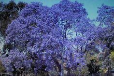 10-Samen-Jacaranda-cuspidifolia-436