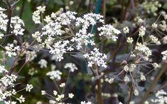 Anthriscus-ravenswing White Plants, Moon Garden, White Tulips, Elegant Flowers, White Gardens, Cool Plants, Garden Styles, Bloom, Rose