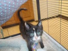 Amanda is an adoptable Domestic Short Hair Cat in Midland, MI. 6-7 week old baby cat. She's a sweet and social little cat. After 7-16-12 adoption fee is $15 buy one get one free for adult cats and kit...