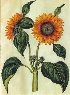 Sunflower. Helianthus annuus (1649-1659).
