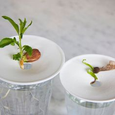 Progress on the almonds and plane tree seed  #ignoretherain #springishere #growgrowgrow #Sprout_Small #designsprout #sproutideas http://ift.tt/2mgP0SM
